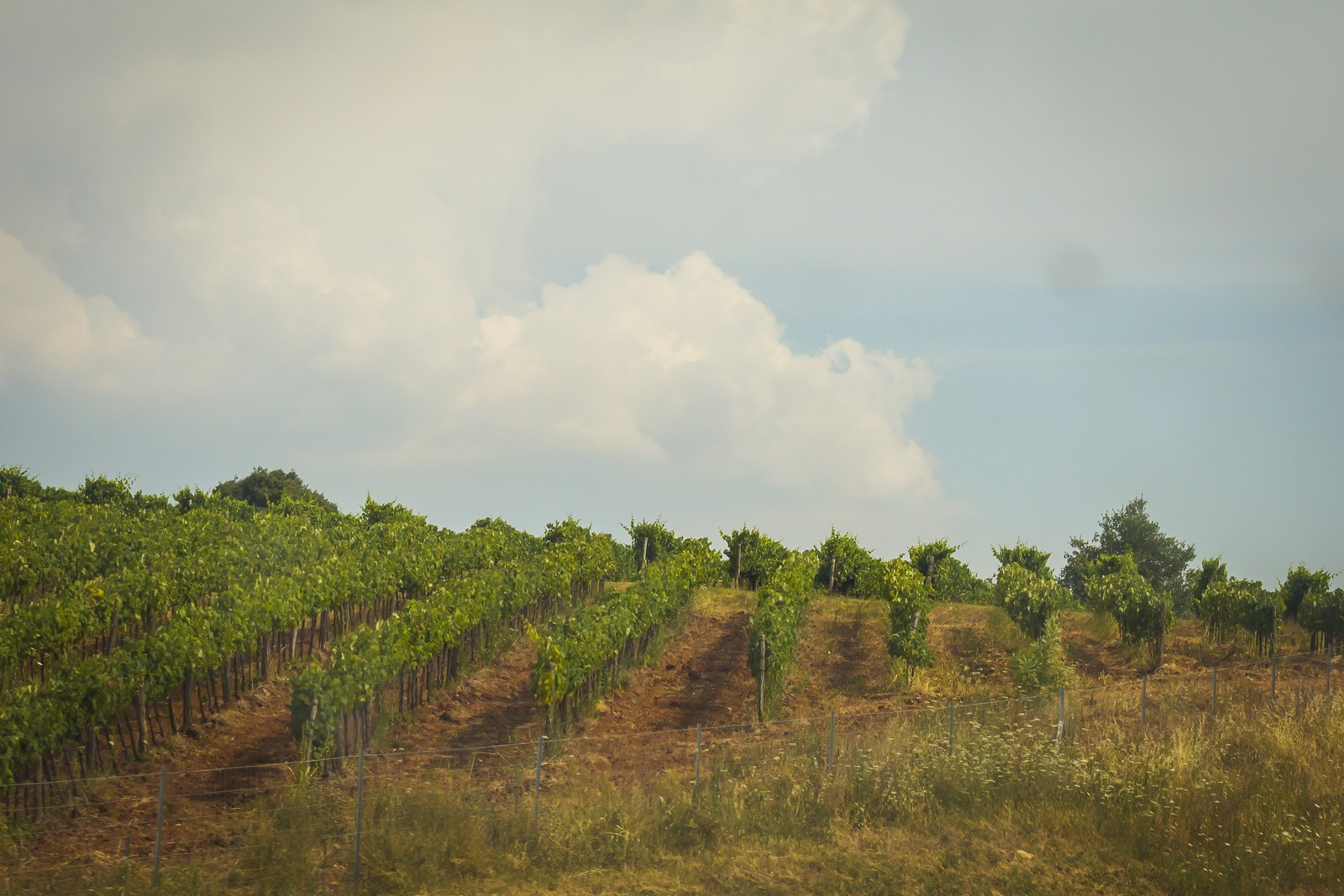 Хорватия. Истрия. Виноградники.