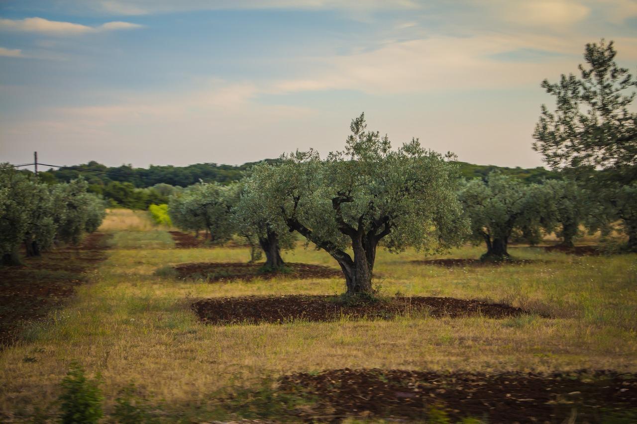 Оливковая роща, Хорватия