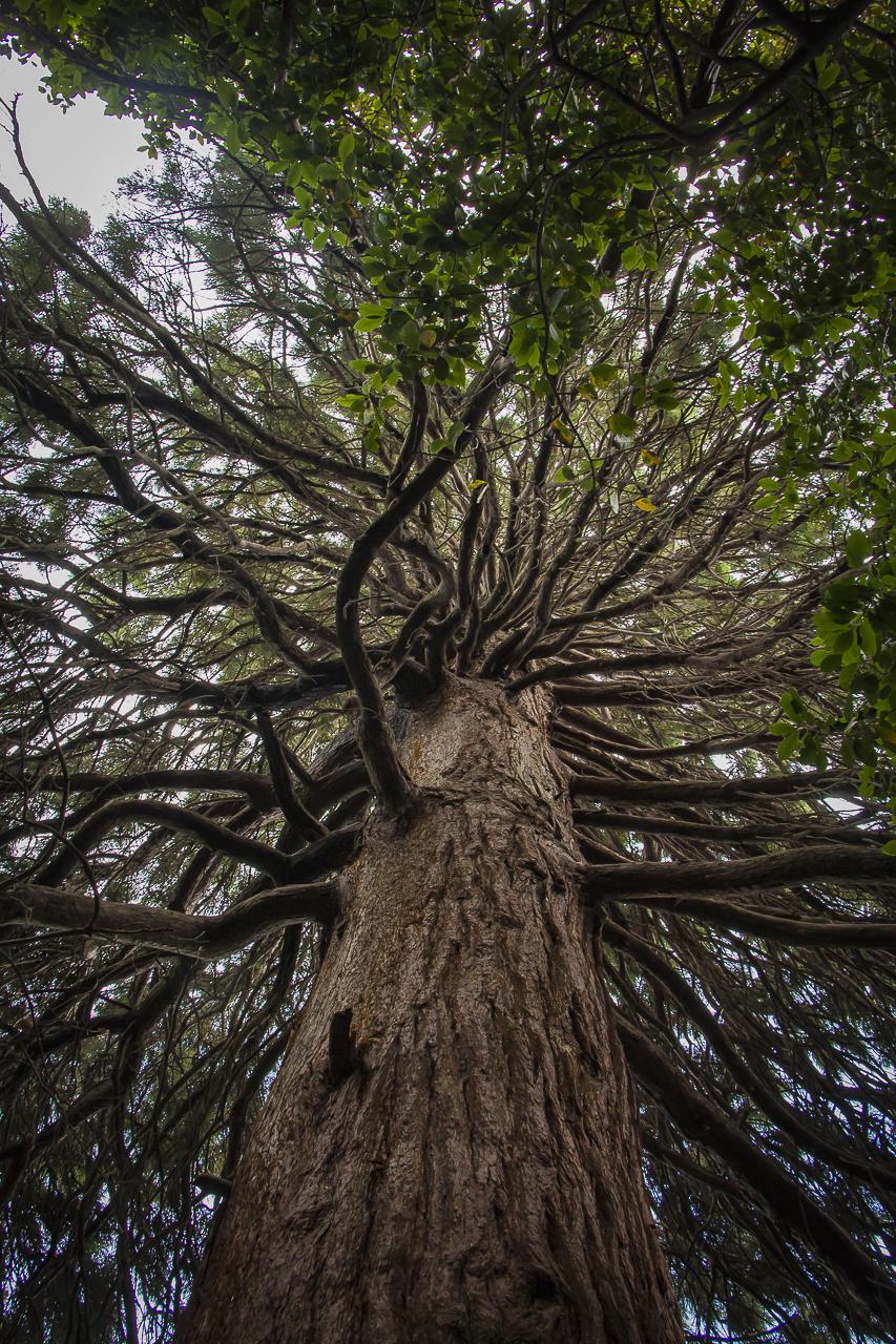Секвойядендрон гигантский – «мамонтово дерево»